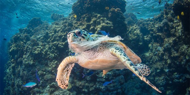 Female Hawksbill turtle in distress and unable to eat due to a plastic bag blocking her airways.