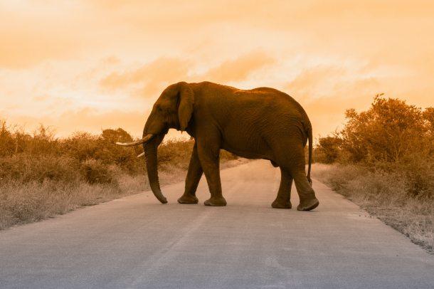 Elephant 2019