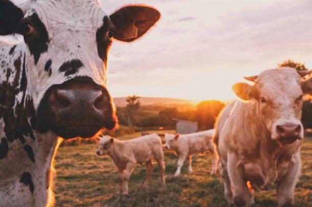 cows 2019